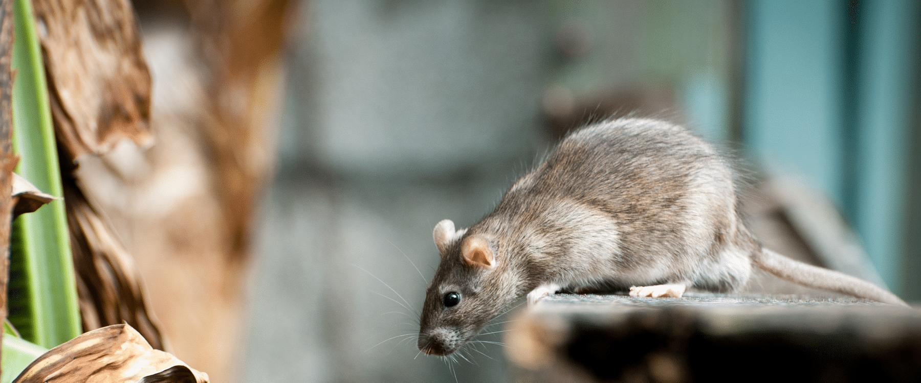 Comment utiliser un piège à souris